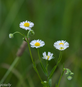 July 28.  CSW.  Fleabane