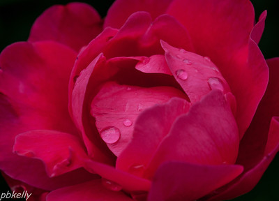 June 16.  Rose after the rain at CBG.