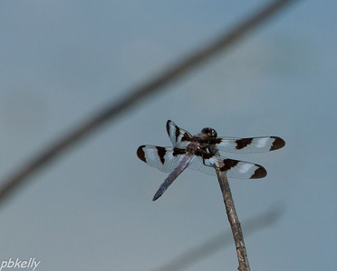 June 13.  Twelve-spotted Skimmer, Libellula pulchella.