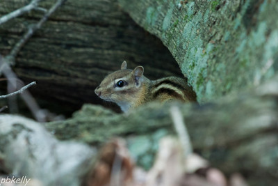 June 15.  This chipmunk at the Crook Street Wetlands only stayed put for one frame of a burst!