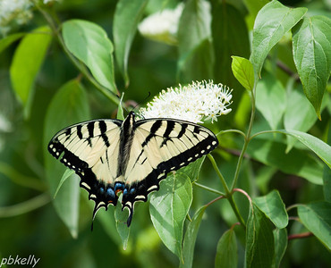 June 9.  Crook Street Wetlands.  First shot this year of a Tiger Swallowtail.