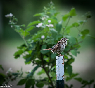 June 1.  Song Sparrow doing his thing on a fencepost in front of the blackberry patch.