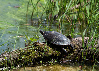 June 13.  Turtles on my pond don't usually stay put long enough to get a shot.  This one did.