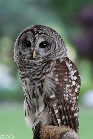 June 29.  Lovely little Barred Owl at Back to the Wild.