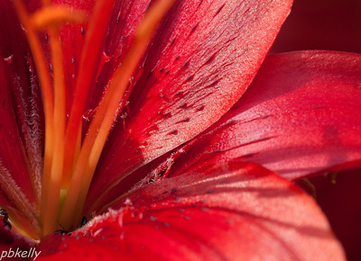 June 24.  Ant's eye view of one of my lilies.