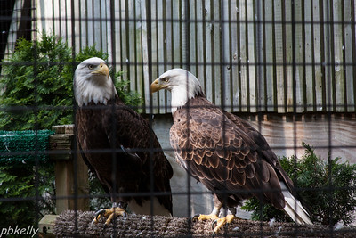 June 29.  Two eagles through the cage wire at Back to the Wild.  Eyes are intense.