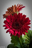 March 19.  Wind Chill was 8 today and it felt it.  Bot myself a Gerbera Daisy in the Supermarket.