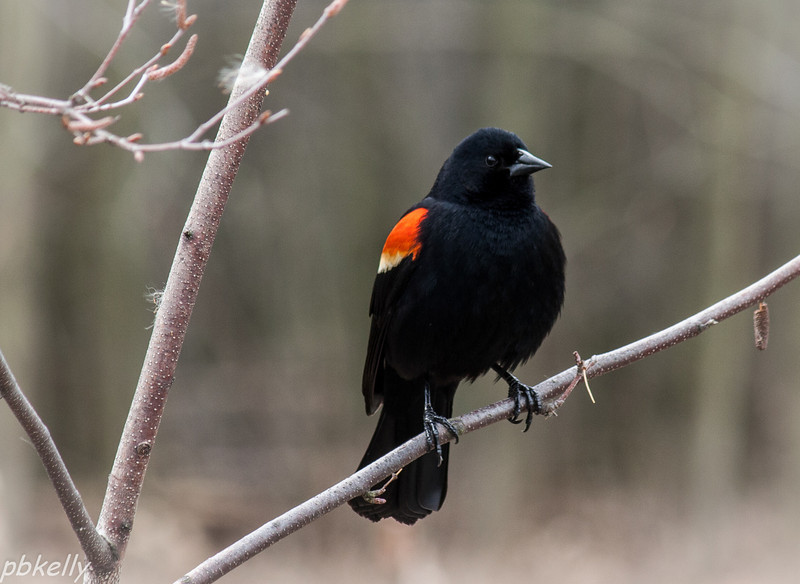 March 15.  Sandy Ridge.  The Red Winged Blackbirds are back in force.