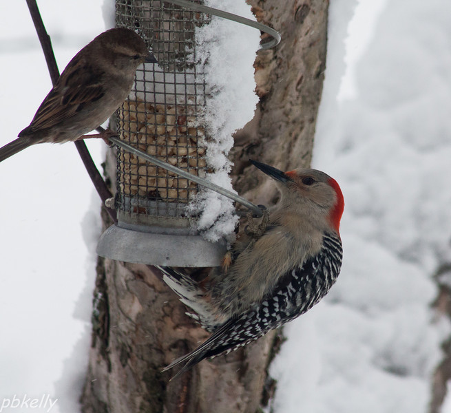 March 25.  We have a pair of Red Bellied Woodpeckers that hang around the feeder farther from the house.  This is the only time I have caught a shot of him at the peanut feeder - through the window, of course!  The sparrow looks like it is politely waiting its turn.