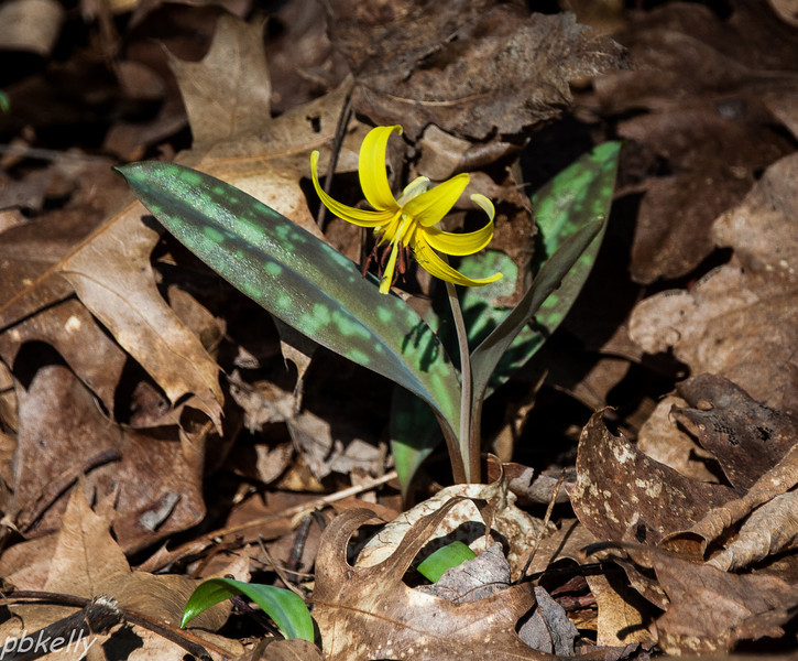 March 20.  This one was taken last year on March 22.  Not a sign of Trout Lilies or any other early wildflowers yet this year.