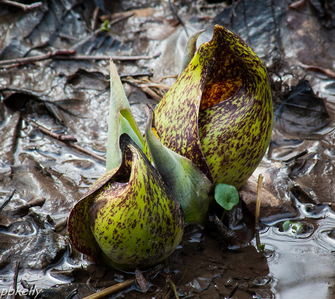 March 23.  Went on a Skunk Cabbage walk at Columbia Station and here they were, popping right out of the barely thawed muck!  Chorus Frogs were still at it, too.