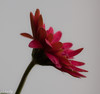 March 22.  Playing with the Gerbera Daisy and soft focus with a 90mm macro.