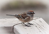 March 24.  Song Sparrow on the deck.  A lot of these right now, but they don't stay still!