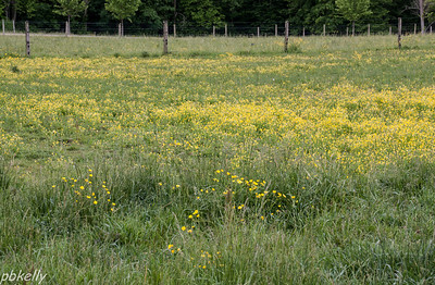 May 27.  One of our pastures loaded with buttercups.