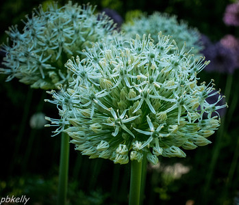 May 19.  CBG.  Allium was blooming.