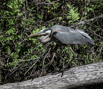 May 16.  Went to the Beaver Marsh at CVNP today with Marilyn.  These Heron was very obliging and slowly made his way posing for us.