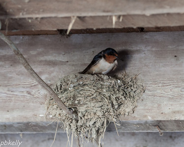 May 22.  This is Mama Swallow.  She and Papa Swallow have had  their nest in our barn for a few years now.  We will be following them.