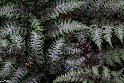 May 12.  CBG.  Japanese Variegated Ferns.