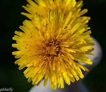 May 7.  When life deals you dandelions, take macros!