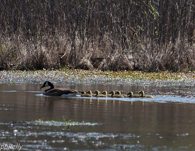 May 2.  Goslings hatched at the Crook Street Wetlands.  More playing with the long lens.
