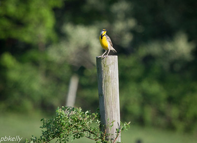 May 15.  Meadowlark moved into one of the pastures.
