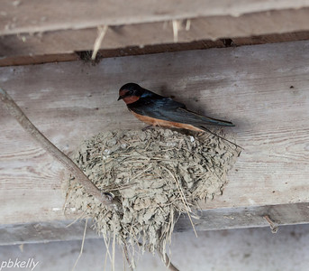 May 22.  This is Papa Swallow.