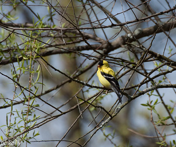 May 2.  Could barely see this Goldfinch but the long lens got him.