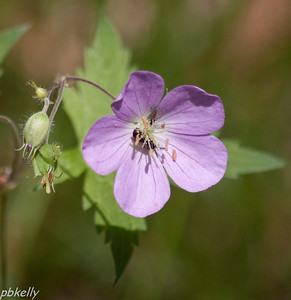 May 20.  Crook Street Wetlands.  A late Wild Geranium and Friends.