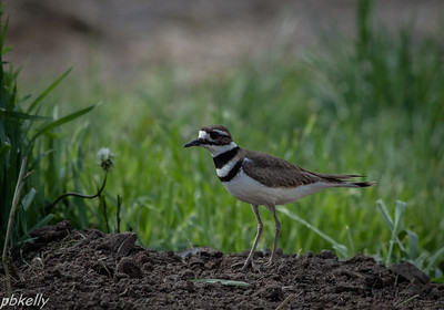 May 14.  The vegetable garden was just tilled, and this Kildeer checked it for bugs.  Lots of Kildeer in the fields right now.