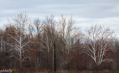 11-19.  My neighbor's sycamores were glowing in the early morning light.