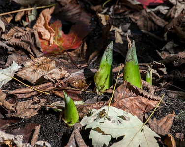 10-11.  Skunk Cabbage shoots at Big Swamp.  They are associated with early Spring, but start shooting up in Fall.