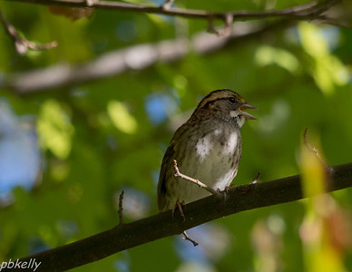 10-10. CSW . Young White Throated Sparrow.
