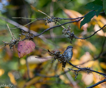 10-09.  Yellow Rumped Warbler eating Poison Ivy berries at Peak Preserve. Ugh, Scratch!