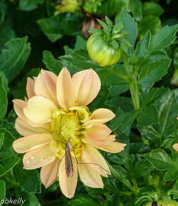 10-05.  Crane fly on a Mini Dahlia.