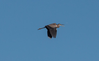 10-10.  CSW.  Practicing action on the Great Blue Heron.  I like the open mouth.