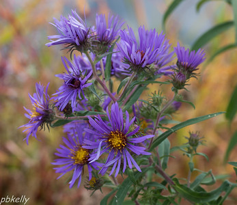 9/30.  New England Aster without bee.