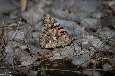 9/25.  CSW.  Painted Lady on the gravel.  Only the second one I've seen this year.