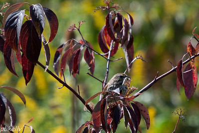 9/06.  Peak Preserve.  Song Sparrow with his dinner.