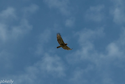 9/25. CSW.  Practicing action on this Red Tailed Hawk. Looks like I need more.