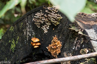 9/15.  Indian Hollow.  Variety of fungus, old and new, on the log.
