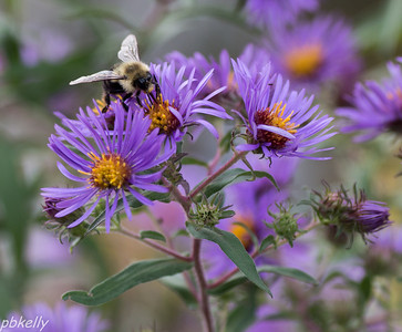 9/30.  New England Aster with bee.