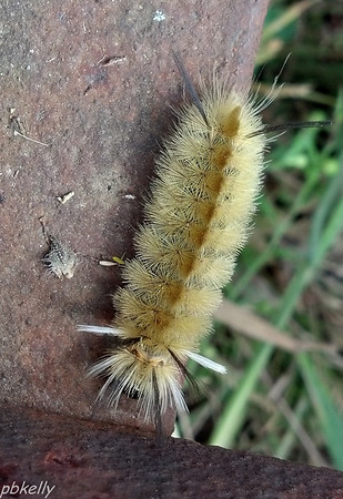 9/19.  This Banded Tussock Moth Caterpillar was on Bob's Brushhog.  It reminded me of one of those poofy little white dogs.