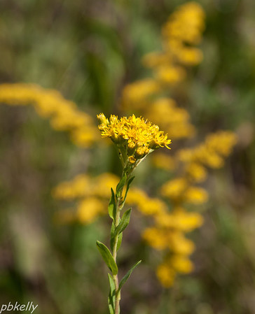 9/14.  CSW.  Stiff Goldenrod against a background of Grey Goldenrod.  There are at least 4 different Goldenrod Species there.