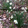 4/12/2013: Random daffodil explosion between Race Rd and Deep Run in Howard County.
