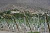 2013-01-18 VIAGEM MONTE PATRIA - TULAHUEN - VALE DO LIMARI - CHILE . PLANTACAO DE UVAS NO SISTEMA PARRONES QUE FOI INTRODUZIDO PELOS ESPPANHOIS / PLANTACION DE UVAS EN EL SISTEMA PARRONES QUE FUE PRESENTADO POR  ESPANOLAS / GRAPE PLANTATION IN PARRONES STYLE INTRODUCED BY THE SPANISH / TRAUBENPLANTAGE IM PARRONES STIL EINGEFÜHRT VON DEN SPANIERN . © Lucas LAcaz Ruiz /LATINPHOTO.org