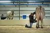 Fachmesse Tier & Technik auf dem Olmagelände in St. Gallen - Rasieren von Kühen © Urs Bucher/IMAGOpress.com