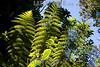 Costa Rica - Parque Nacional Volcan Poas - Selva /  Poas Volcano National Park - Hoja / vascular plant / Nationalpark Poas Volcano National Park - Natur - Blatt ( Pflanze ) tropischer Regenwald © LATINPHOTO.org