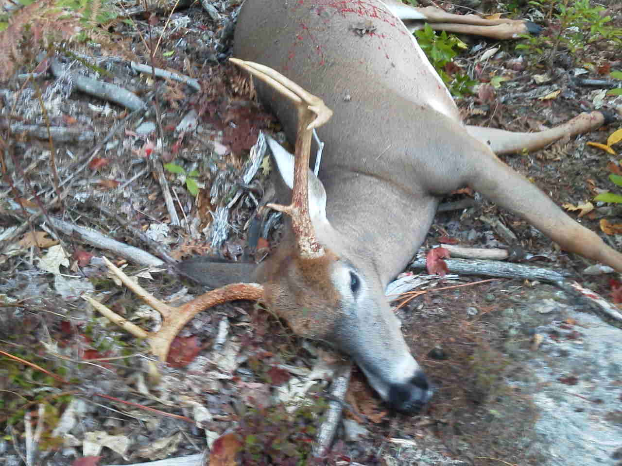 8pt, 157#, 30yd shot, 27yd recovery, 0710h 28Sep