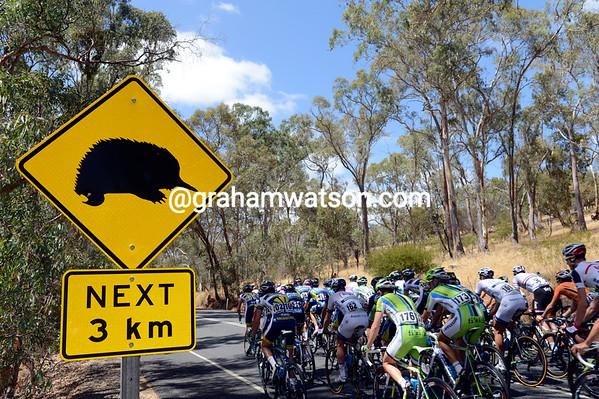 Not a wombat, nor a kangaroo, that's an Echidna watching the TDU peloton today...