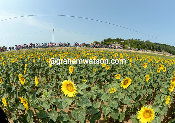 The Tour has discovered its first sunflowers of the race..!